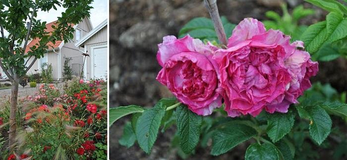 bilder från min trädgård